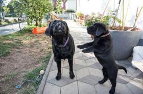 Schöne Labrador Retriever Welpen