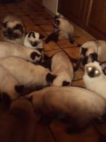 Schöne Siamkatzen abzugeben