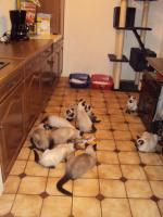Foto 2 Schöne Siamkatzen abzugeben