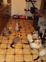 Foto 3 Schöne Siamkatzen abzugeben