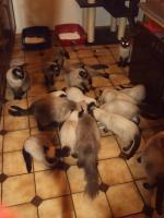 Foto 4 Schöne Siamkatzen abzugeben