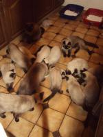 Foto 5 Schöne Siamkatzen abzugeben