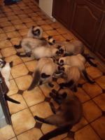 Foto 6 Schöne Siamkatzen abzugeben
