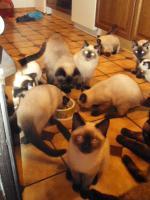 Foto 7 Schöne Siamkatzen abzugeben