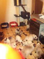 Foto 8 Schöne Siamkatzen abzugeben