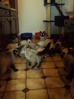 Foto 9 Schöne Siamkatzen abzugeben