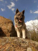 Foto 2 Schöne Welpen Norwegischer Elchhund mit Papiere