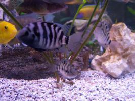 Foto 2 Schöne Zebrabarsche