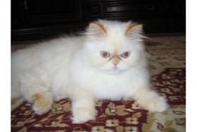 Schöne Zuchtkatze knapp 2 Jahre alt