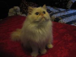 Foto 3 Schöne Zuchtkatze knapp 2 Jahre alt