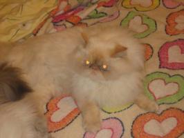 Foto 2 Schöne Zuchtkatze knapp 2 Jahre alt mit Papiere