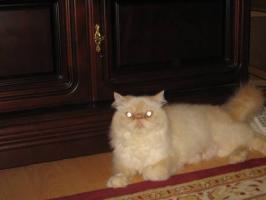 Foto 3 Schöne Zuchtkatze knapp 2 Jahre alt mit Papiere