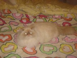 Foto 4 Schöne Zuchtkatze knapp 2 Jahre alt mit Papiere