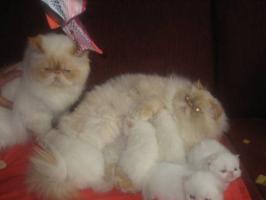 Foto 5 Schöne Zuchtkatze knapp 2 Jahre alt mit Papiere