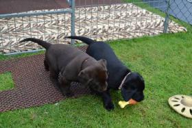 Schöne braune und schwarze Welpen Labrador Retriever
