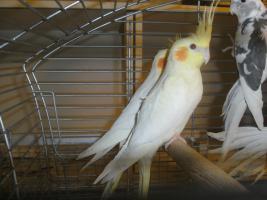 Foto 2 Sch�ne nestjunge Wei�kopfnymphensittiche
