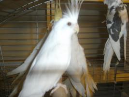 Foto 3 Sch�ne nestjunge Wei�kopfnymphensittiche