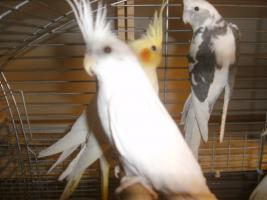 Foto 4 Sch�ne nestjunge Wei�kopfnymphensittiche