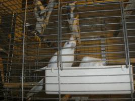 Schöne nestjunge Weißkopfnymphensittiche
