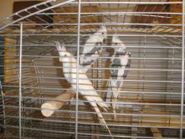Foto 2 Schöne nestjunge Weißkopfnymphensittiche
