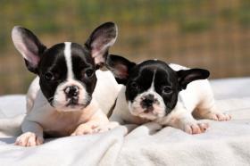 Foto 2 Schöne reinrassige Französische Bulldoggen Welpen