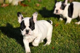 Foto 3 Schöne reinrassige Französische Bulldoggen Welpen