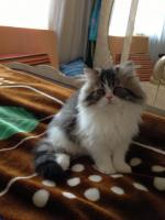 Schöne reinrassige Perser Kitten