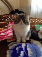 Foto 2 Schöne reinrassige Perser Kitten
