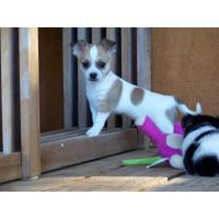 Schöne, intelligente und schöne Chihuahua Welpen