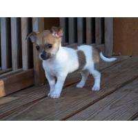 Foto 2 Schöne, intelligente und schöne Chihuahua Welpen