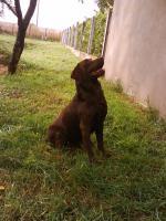 Foto 4 Schoko Labrador Welpen - schönste Eltern (s.Bilder)
