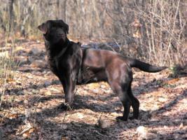 Foto 5 Schoko Labrador Welpen - schönste Eltern (s.Bilder)