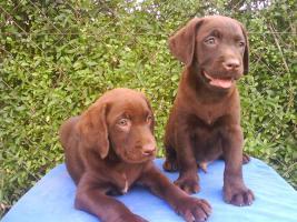 Foto 2 Schoko Labrador Welpen - schönste Eltern (s.Bilder)