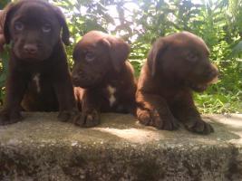 Foto 3 Schoko Labrador Welpen - schönste Eltern (s.Bilder)Zwei Wurfe!