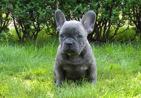 Schoko und blaue französische Bulldogge Welpen