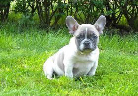 Foto 2 Schoko und blaue französische Bulldogge Welpen