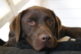 Schoko braunen Labrador R�de