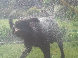 Foto 2 Schoko braunen Labrador R�de