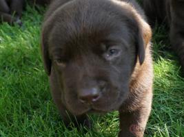 Schoko brauner Labrador