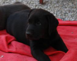 Foto 4 Schokobraune Labradorwelpen!