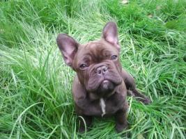 Schokoprinzessin -- French Bulldog in Sonderfarbe , Eltern völlig freiatmend