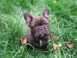Foto 3 Schokoprinzessin -- French Bulldog in Sonderfarbe , Eltern völlig freiatmend