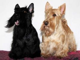 Foto 3 Schottisch Terrier Welpen