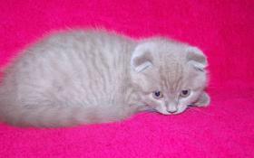 Foto 2 Schottische Faltohrkatze - Kätzchen - Luxusschmusekatze