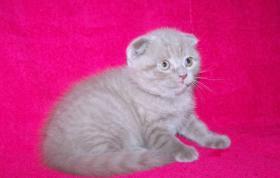 Foto 3 Schottische Faltohrkatze - Kätzchen - Luxusschmusekatze