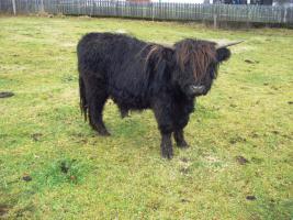 Schottischer Hochlandrinder Stier zu verkaufen!