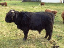 Foto 2 Schottischer Hochlandrinder Stier zu verkaufen!