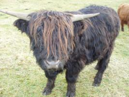 Foto 3 Schottischer Hochlandrinder Stier zu verkaufen!