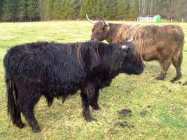 Foto 4 Schottischer Hochlandrinder Stier zu verkaufen!