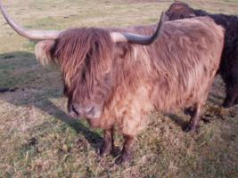 Foto 5 Schottischer Hochlandrinder Stier zu verkaufen!